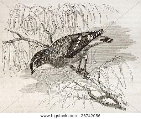 Spotted Pardalote old illustration (Pardalotus punctatus). Created by Kretschmer, published on Merveilles de la Nature, Bailliere et fils, Paris, 1878