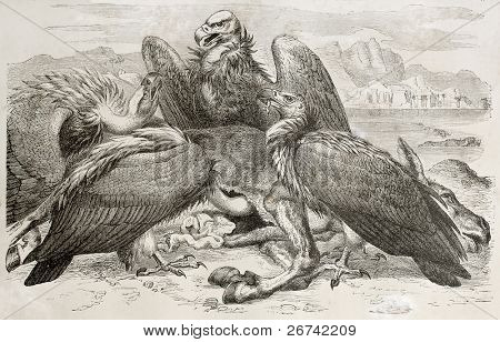 Vultures scavenging old illustration (Aegypius monachus). Created by Kretschmer and Jahrmargt, published on Merveilles de la Nature, Bailliere et fils, Paris, 1878