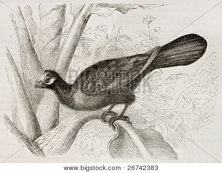 Violet Turaco old illustration (Musophaga violacea). Created by Kretschmer and Jahrmargt, published on Merveilles de la Nature, Bailliere et fils, Paris, 1878