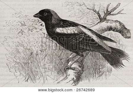 Bobolink old illustration (Dolichonix oryzivorus). Created by Kretschmer, published on Merveilles de la Nature, Bailliere et fils, Paris, 1878