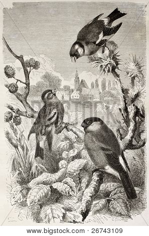 Goldfinch, Siskin and Bullfinch old illustration. Created by Kretschmer and Jahrmargt, published on Merveilles de la Nature, Bailliere et fils, Paris, 1878