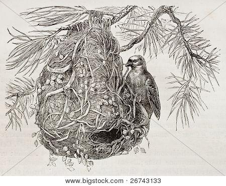 Cape Weaver old illustration (Ploceus capensis). Created by Kretschmer, published on Merveilles de la Nature, Bailliere et fils, Paris, 1878