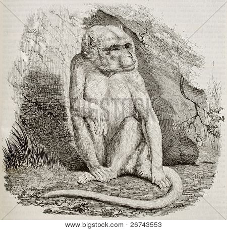 Albino monkey old illustration. By unidentified author, published on Magasin Pittoresque, Paris, 1842