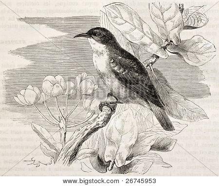 Ilustración antigua de sunbird Valle del Nilo (Anthreptes metallicus). Creado por Kretschmer, publicada on Me