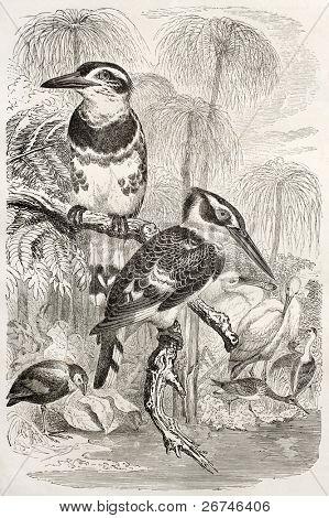 Pied Kingfisher old illustration (Ceryle rudis). Created by Kretschmer and Illner, published on Merveilles de la Nature, Bailliere et fils, Paris, ca. 1878