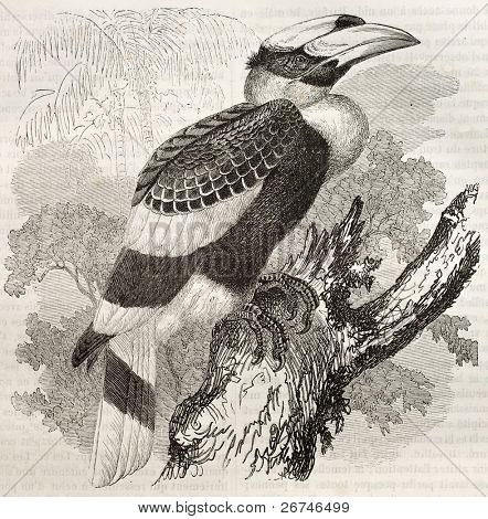 Great Hornbill old illustration (Buceros bicornis). Created by Kretschmer and Illner, published on Merveilles de la Nature, Bailliere et fils, Paris, ca. 1878