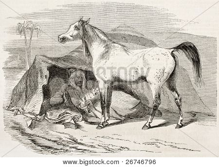 Arab horse old illustration. By unidentified author, published on L'Illustration, Journal Universel, Paris, 1858