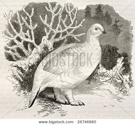 Willow Ptarmigan in winter plumage old illustration (Lagopus lagopus). Created by Kretschmer and Jahrmargt, published on Merveilles de la Nature, Bailliere et fils, Paris, ca. 1878