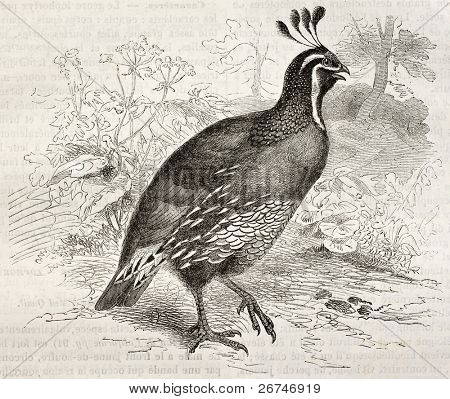 California Quail old illustration (Callipepla californica). Created by Kretschmer and Illner, published on Merveilles de la Nature, Bailliere et fils, Paris, ca. 1878