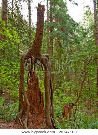 Old nurse trees at Baden-Powell trail, North Vancouver, Canada.