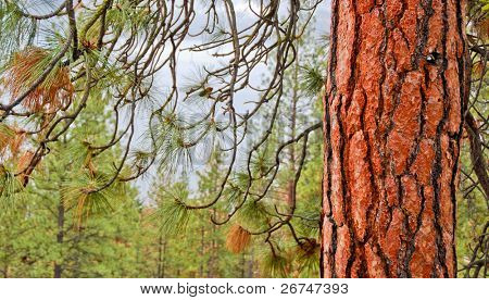 Close up of red pine tree in forest with mountain forest and Okanagan Lake background.