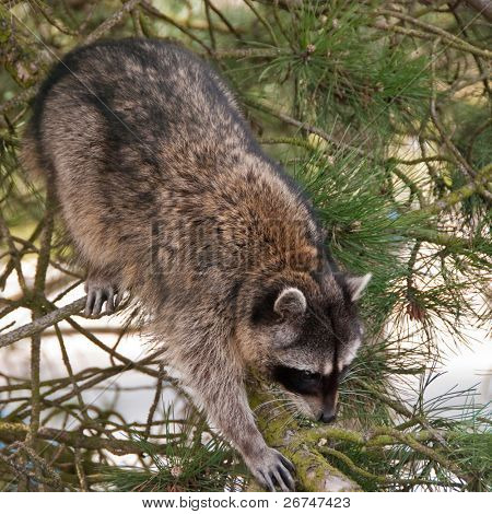A cute close-up view of a raccoon climbing on the tree.