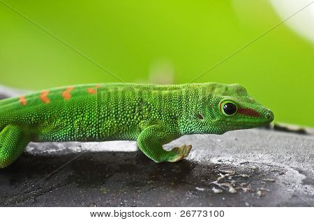 Green gecko on the tree