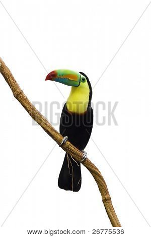 Colorful tucan isolated on white