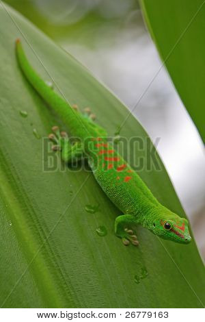 Green gecko on the leaf(Zurich zoo)