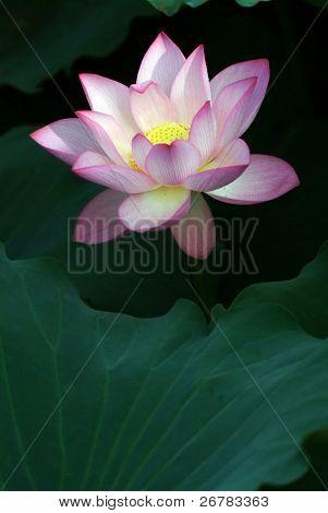 Nahaufnahme der schönen Rosa lotus
