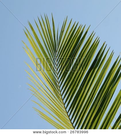 Palmtree leaves isolated on the sky