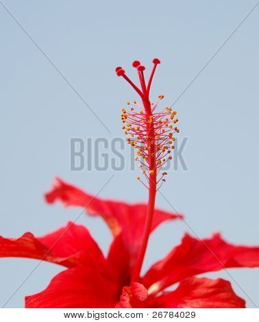 Closeup of Hibiscus Rosa