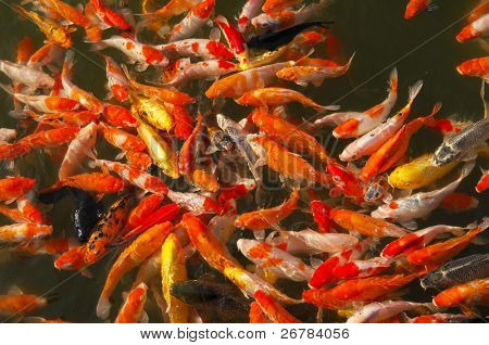 Lots of goldfish waiting for food