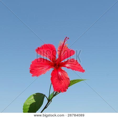 Closeup de Hibiscus Rosa