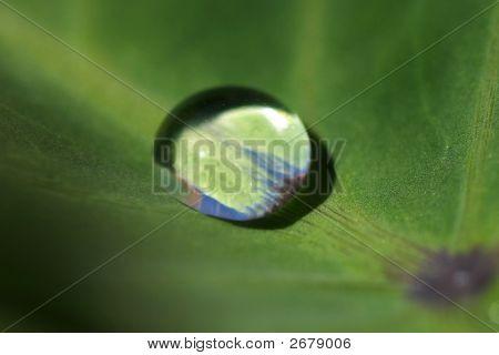 Hydrophobic Tarot Leaf