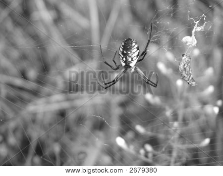 Garden Spider With Meal
