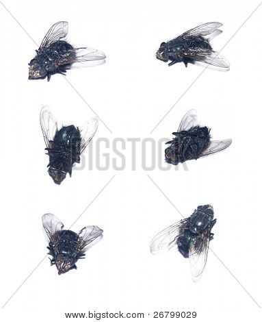 close up shot of several dead houseflies