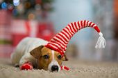 Pet dog Jack Russell Terrier celebrates Christmas under the Christmas tree in striped red white sock poster