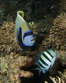 picture of sergeant major  - Emperor Angelfish and Sergeant Major Fish - JPG