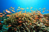 Lyretail Anthia shoal on acropora coral poster