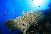 Table Coral (Acropora pharaonis) poster