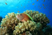 picture of hawkfish  - Fish and Coral - JPG