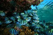 picture of sergeant major  - School of Sergeant Major Fish on a coral reef in the Red Sea - JPG