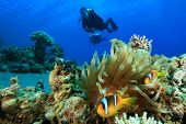 Red Sea Anemonefish and pair of Scuba Divers