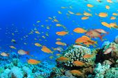 pic of hawkfish  - Lyretail Anthias Fish on Coral Reef - JPG