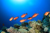 stock photo of bigeye  - School of Bigeye Fish on Coral reef in the Red Sea - JPG