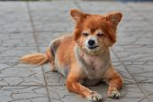 The Homeless Dog. The Dog Lies On The Ground. Old Dog With A Sad Look. Red-haired Dog On The Street. poster
