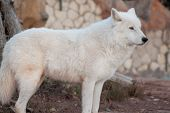 Wild Alaskan Tundra Wolf Is Looking His Prey. Canis Lupus Arctos. Polar Wolf Or White Wolf. poster