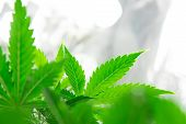 Home Grow Legal Recreational Weed. Marijuana Grow Operation. Planting Cannabis. Cannabis Business. M poster