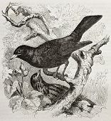 Common Blackbird old illustration (Turdus merula). Created by Kretschmer and Illner, published on Me