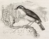 pic of ovenbird  - Rufous Hornero old illustration  - JPG