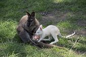 The Red Necked Wallaby Is Next To Her Joey poster