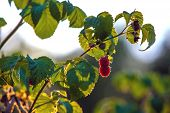 Red Raspberry Berry On A Branch Of A Bush In The Backlight Of The Sun Halo Aureole, Covered With Gre poster
