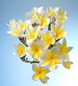 stock photo of plumeria flower  - frangipani or plumeria tropical flower - JPG