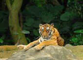 stock photo of mustering  - tiger - JPG