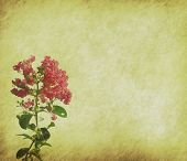 stock photo of crepe myrtle  - crepe myrtle flowers on old grunge antique paper texture - JPG