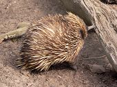 picture of ant-eater  - echidna - JPG