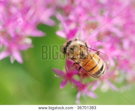 Honey Bee On A Pink Autumn Joy