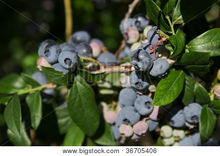 Blueberry Harvest