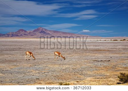 Vicunas in the Salar de Tara, desert Atacama, Chile